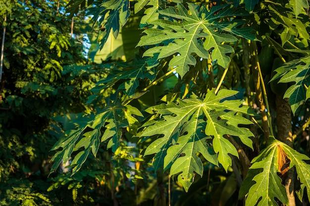 Green papaya leaves papaya tree in the garden background thailand
