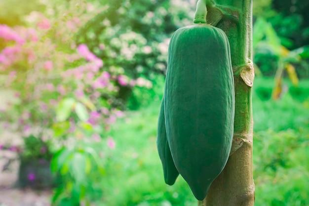 나무에 녹색 파파야와 배경을 흐리게 합니다. 태국에서 정원, 식물 또는 과일에 있는 파파야 나무에 있는 어린 파파야.