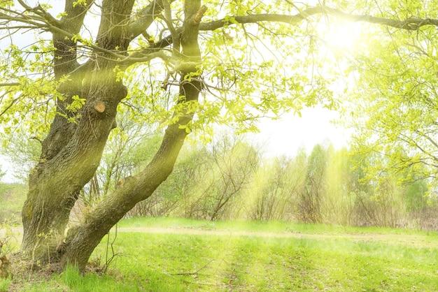 日当たりの良い芝生の上に太陽、オークの木、草のある緑豊かな公園
