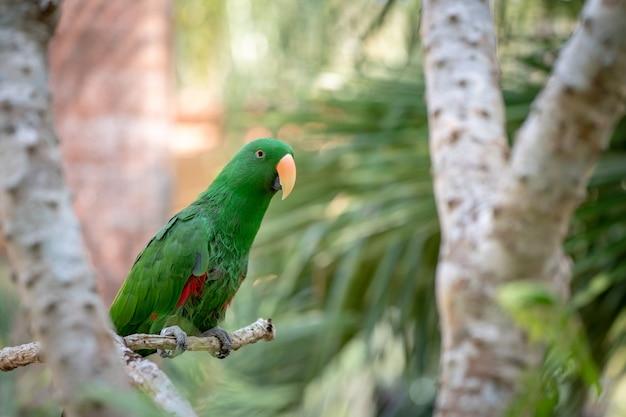 緑のオウムがぶら下がって、森のボケ味の背景をぼかす枝の上に立っています。