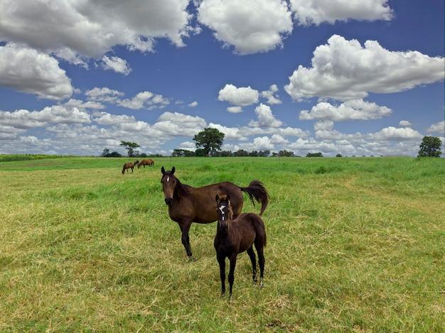 馬の農場の緑の牧草地。田舎の夏の風景。