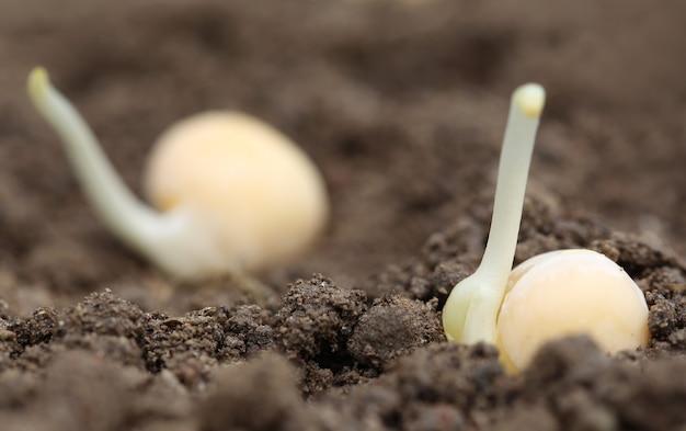Саженец зеленого горошка в плодородной почве с селективным фокусом