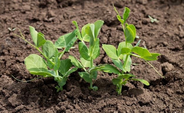 有機性庭の土壌で発芽するグリーンピースの芽