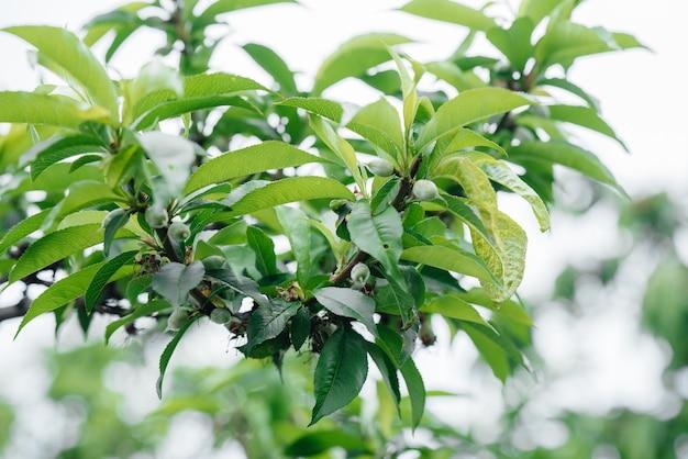 Зеленые персики заделывают на дереве.