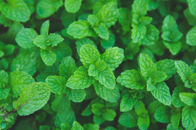 Green peppermint leaves background. flat lay. nature background