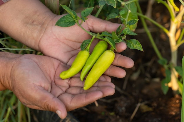Green peppers on the hand. organic fresh chilli.