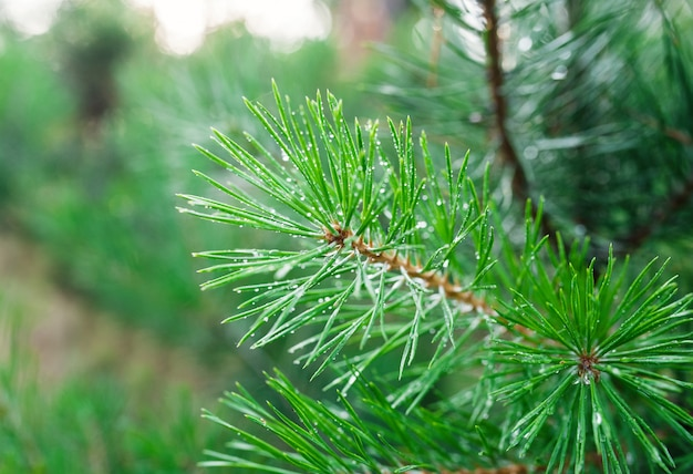 Green pine branch close-up