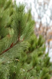 背景がぼやけた緑の松の枝。針葉樹の葉のテクスチャ