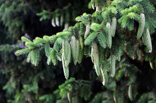크리스마스 트리 분기에 녹색 소나무 콘입니다. 숲. 재목.