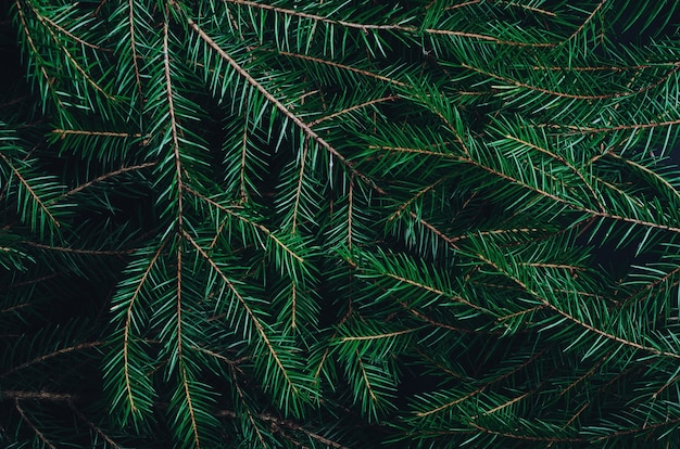 Green pine, fir-tree branches close up background