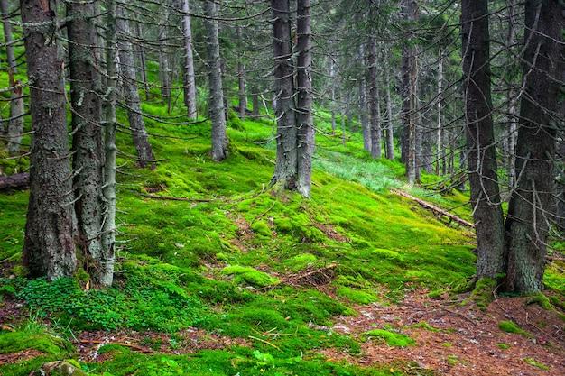 山の斜面にある緑の松林