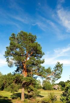 緑の松葉をクローズアップで撮影。田園地帯にある、表面の青い空と目に見える木造建築。