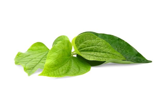 Green piper betel leaf isolated on the white background. thai herb, thai food (wildbetal leafbush) (piper sarmentosum roxb)