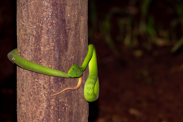 Green pit vipers or trimeresurus albolabris on stem of tree