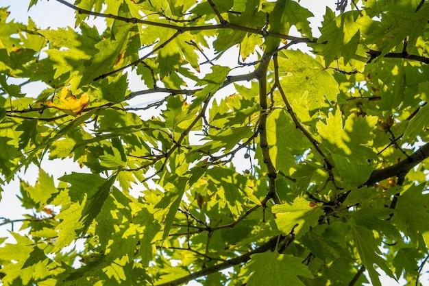 녹색 비행기 나무는 햇빛과 나뭇 가지에 나뭇잎. platanus orientalis, old world sycamore, oriental plane, 구형의 머리를 가진 큰 낙엽수.