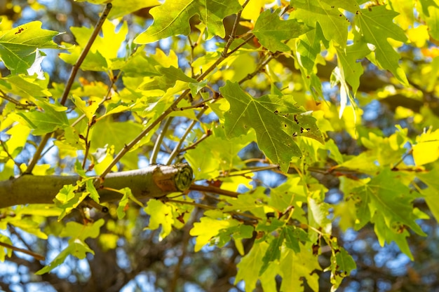 Green plane tree leaves on tree branches with sunlight. platanus orientalis, old world sycamore, oriental plane, large deciduous tree with globose head.