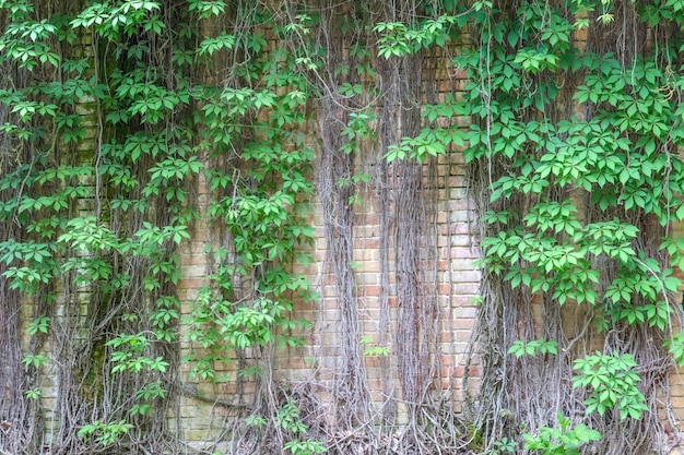 Зеленые завитки растений на кирпичной стене