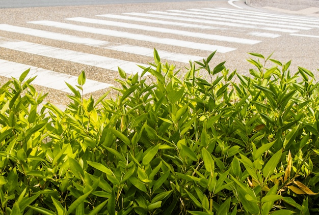 Green plant in front of the crosswalk on the road