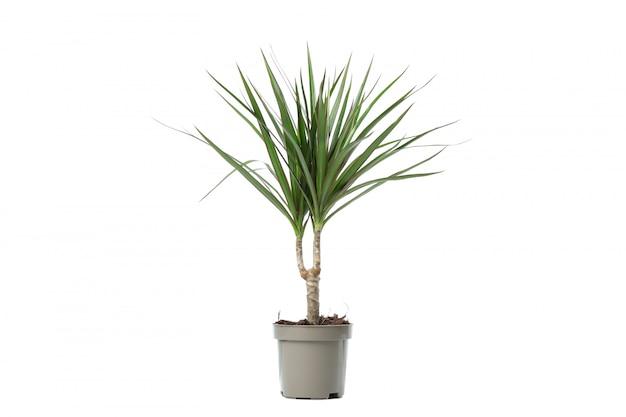 白で隔離される鍋の緑の植物