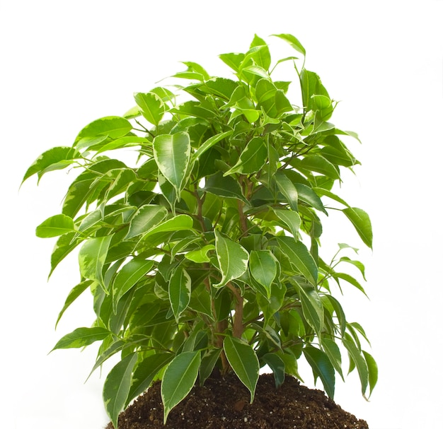 Зеленое растение изолировано