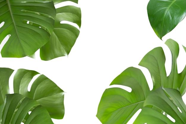 白い背景の上の緑の植物モンステラ。