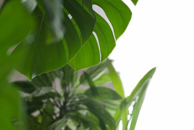 Монстера зеленое растение на белой поверхности
