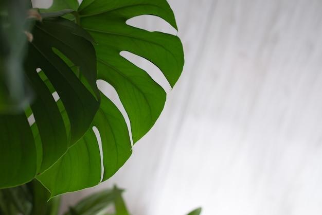 Монстера зеленое растение на белом.
