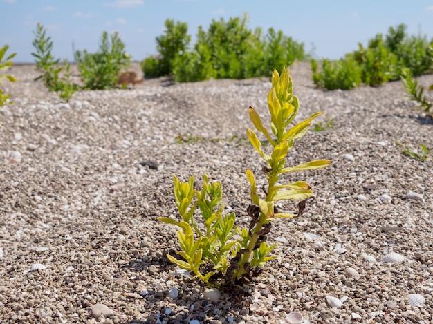 砂の上の緑の植物。夏の晴れた日。生存のために戦う。自然な背景。