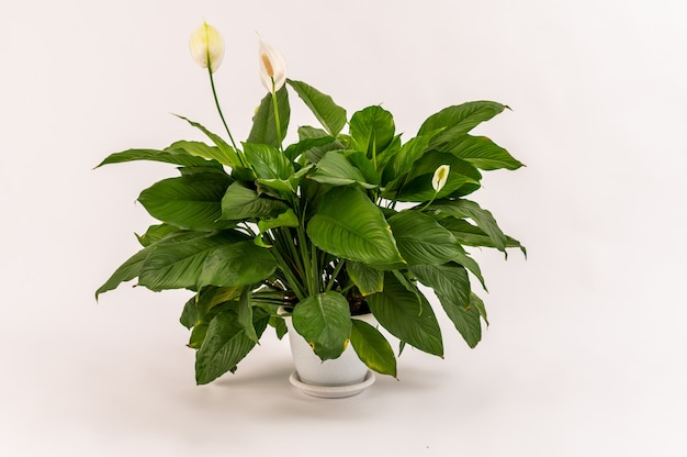 Green plant spatifillum without flowers in a white pot isolated