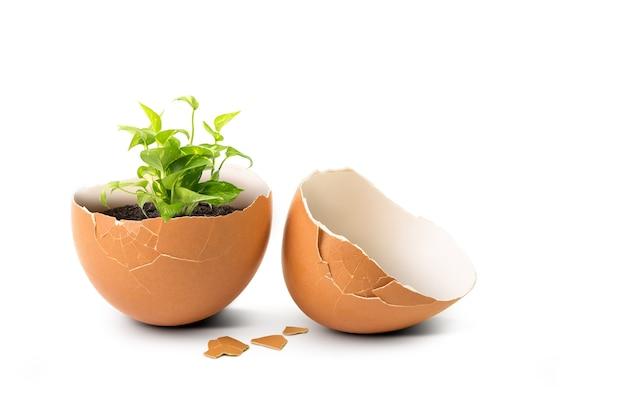 緑の植物が白で隔離内部の壊れた卵殻を芽します。