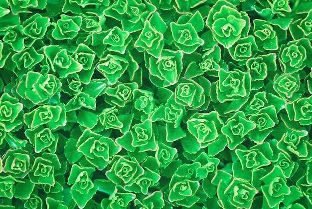 セダムスプリウムの緑の植物テクスチャ背景