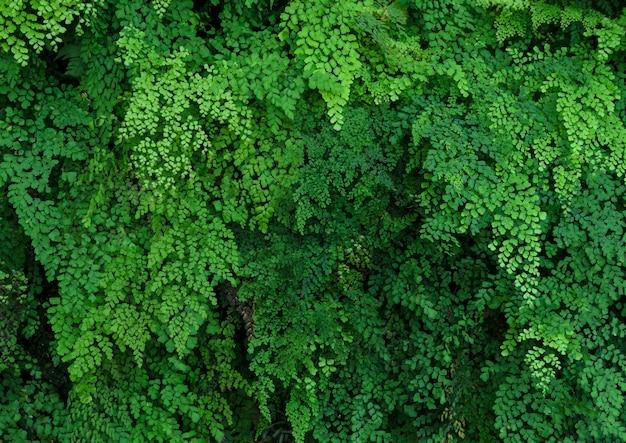 Green plant wall of black maidenhair fern or adiantum fern