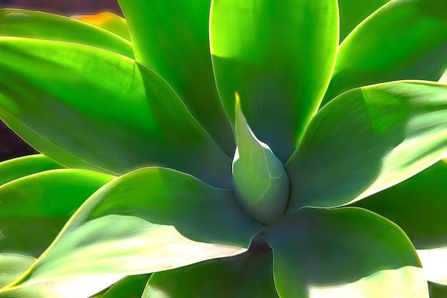 Зеленое растение юкка или древо жизни запечатлено очень близко, крупным планом в намибии