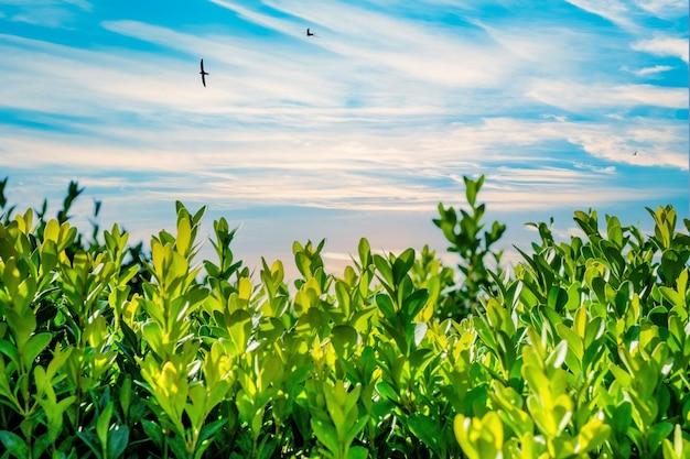 Зеленые растения и голубое небо с белыми облаками летом