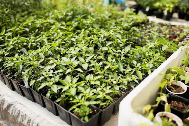 Green plants in black flowerpots in greenhouse
