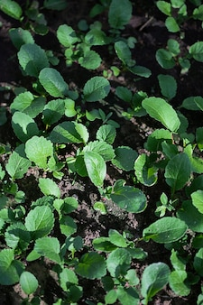Green plants growing on a bed in the garden in greenhouse, the concept of organic cultivation of vegetable plants in