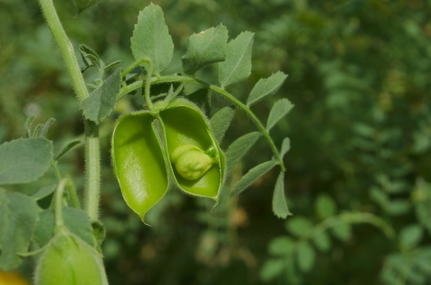 Green pod  and bean chickpea are growing