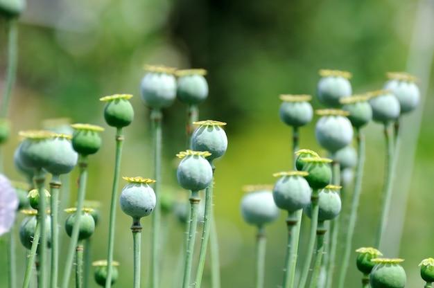 Зеленые маковые головки в саду.