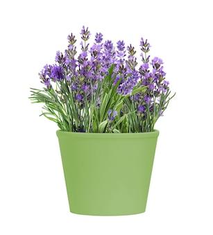 흰색 배경에 고립 된 피 라벤더 꽃의 녹색 냄비