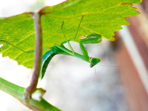 ブドウの葉に緑のカマキリ