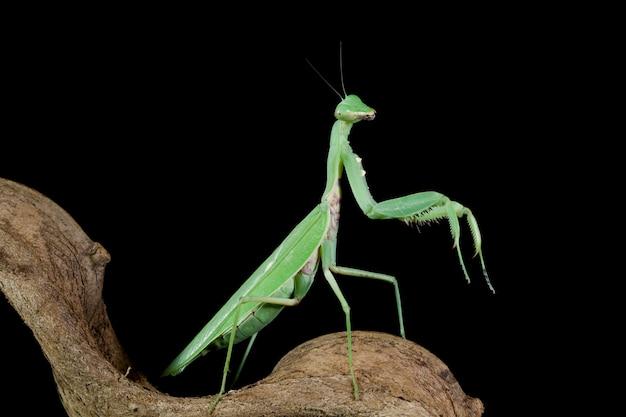 Зеленый богомол на ветке с черной стеной красивый богомол