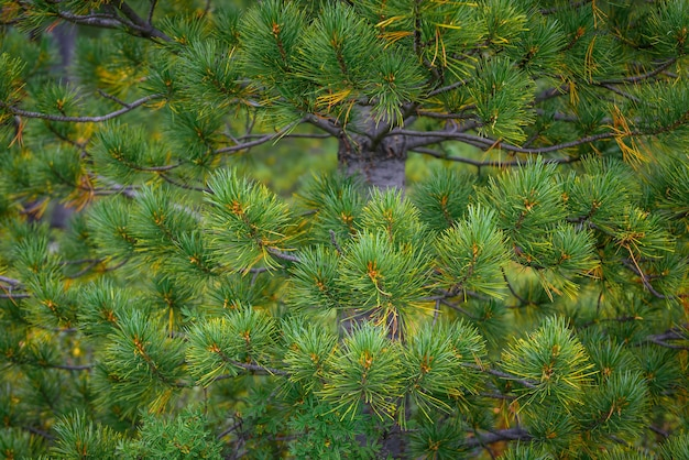 Green prickly branches of a coniferous tree as natural background