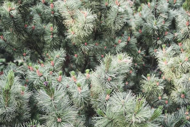 松の木の緑のとげのある枝。
