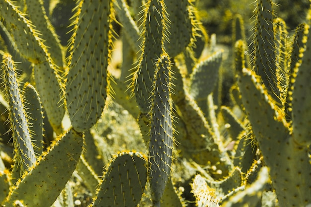 Green prickly pear cactus with thorns