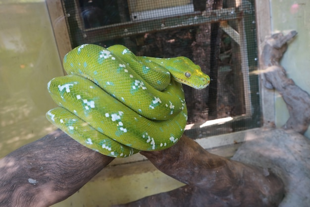 A green python that is desperate for its life is upset