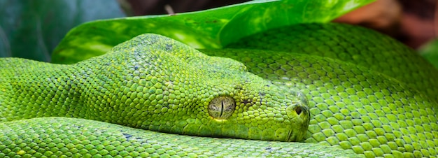 Green python in a zoo