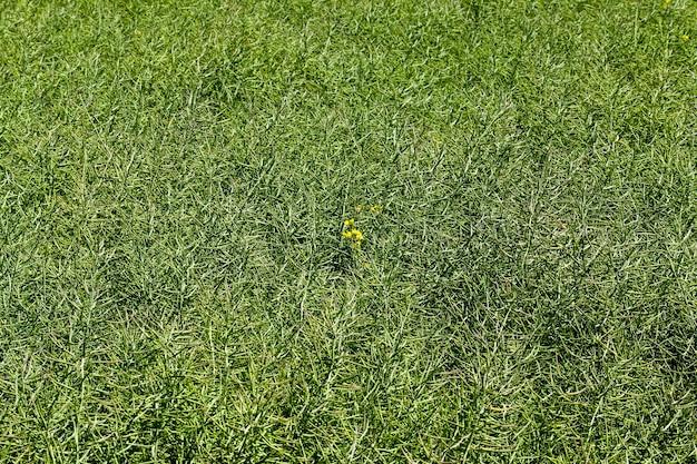 Зеленые стручки рапса на сельскохозяйственном поле