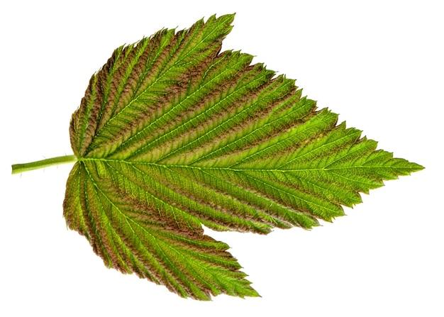 Зеленый лист малины, изолированные на белом фоне