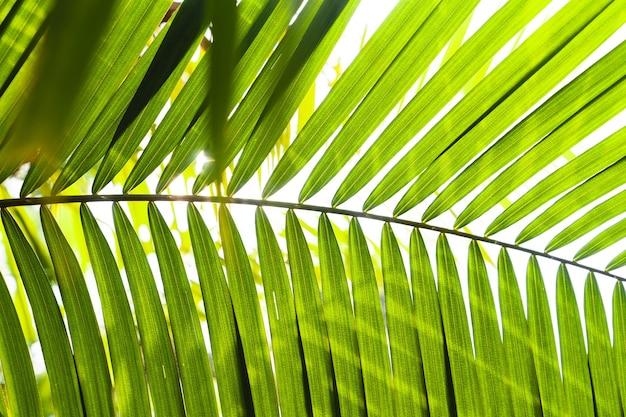 Зеленые листья ротанга в природе