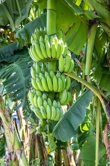 Зеленый свежий свежий банан, растущий на дереве в саду
